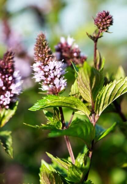 La menthe poivrée bio a été spécialement choisie pour ses vertus apaisantes et antibactériennes.