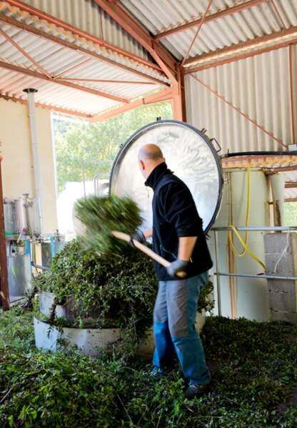 Pour obtenir de l'huile essentielle on utilise la fleur, les feuilles et la tige de menthe poivrée bio.