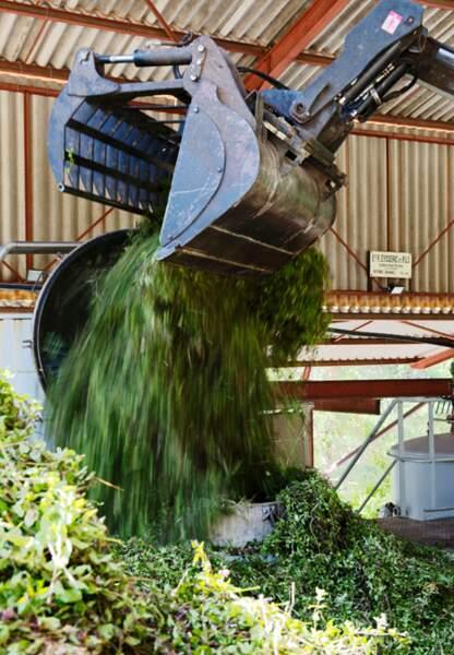 A peine récoltée, les plants de menthe poivrée bio sont immédiatement distillés.