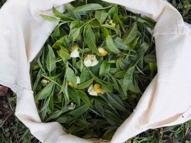 Les feuilles de thé sont mises au repos après la récolte.