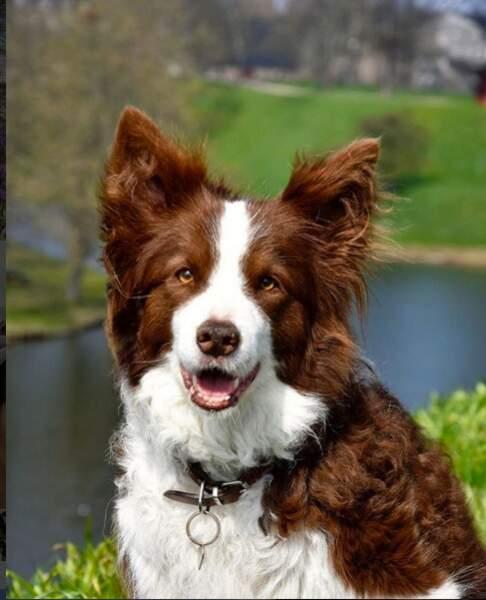 Ziggy, le boarder collie de la famille princière du Danemark, un compagnon très affectueux