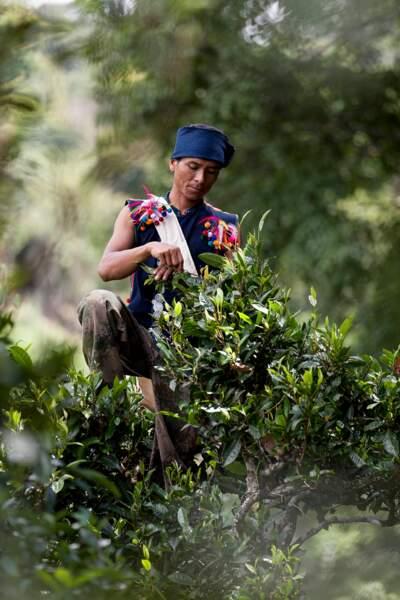 Depuis des millénaires, ce sont les membres du peuple Bulang qui récoltent les feuilles de thé Pu-Er.
