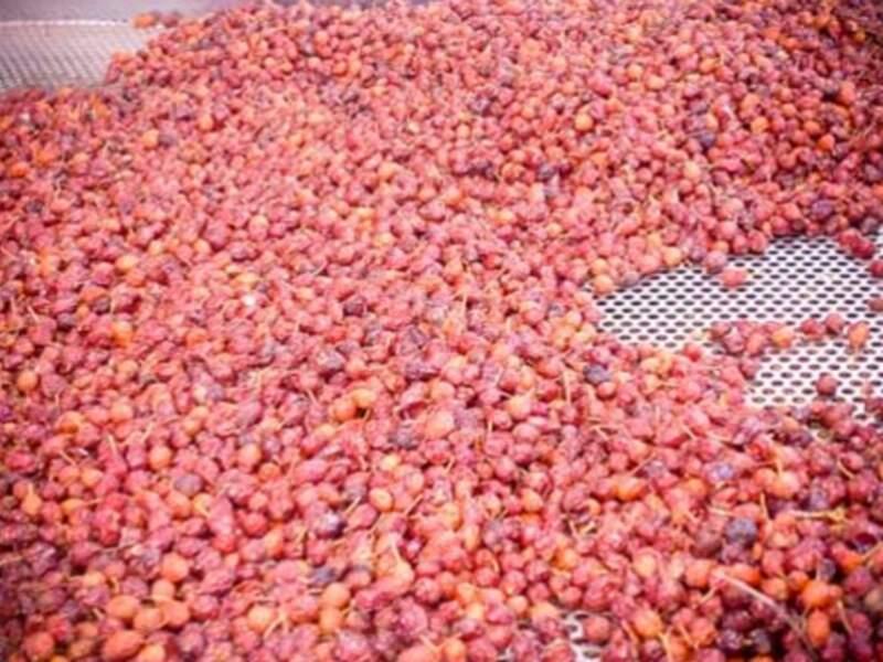 Fruits de la rose musquée après récolte pour la fabrication des soins Rosazucena
