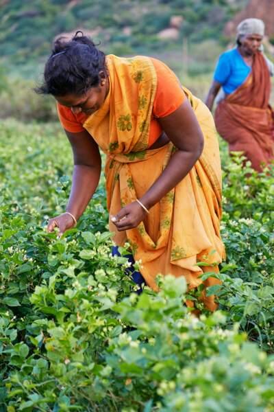 La cueillette se fait en Inde du Sud, exclusivement par des femmes et à la main.