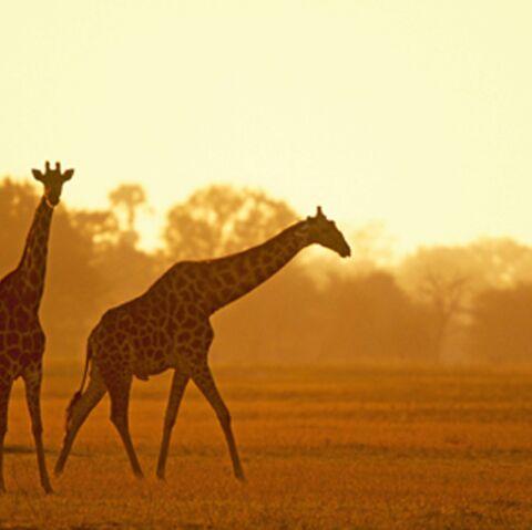 Michael Jackson: ses girafes mortes indésirables