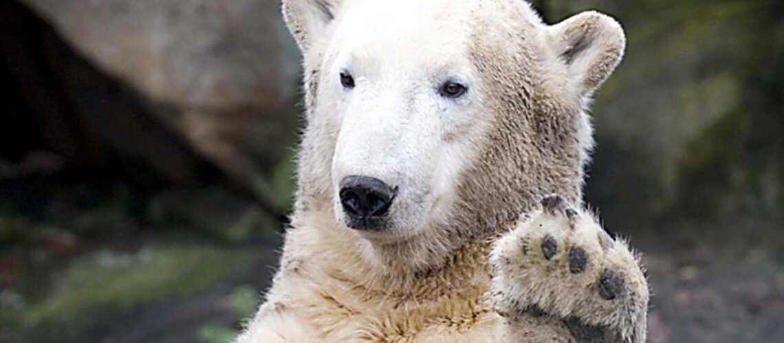 Knut, castré?