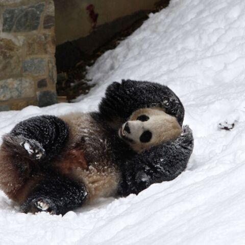 Un petit panda, mais un géant pour l'humanité