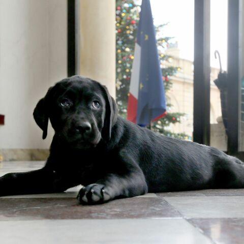 Carnet rose pour François Hollande: son chien Philaé a eu des petits