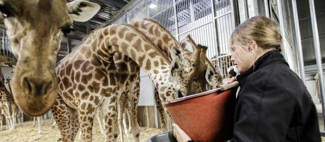 Zoo de Vincennes: les femmes en première ligne