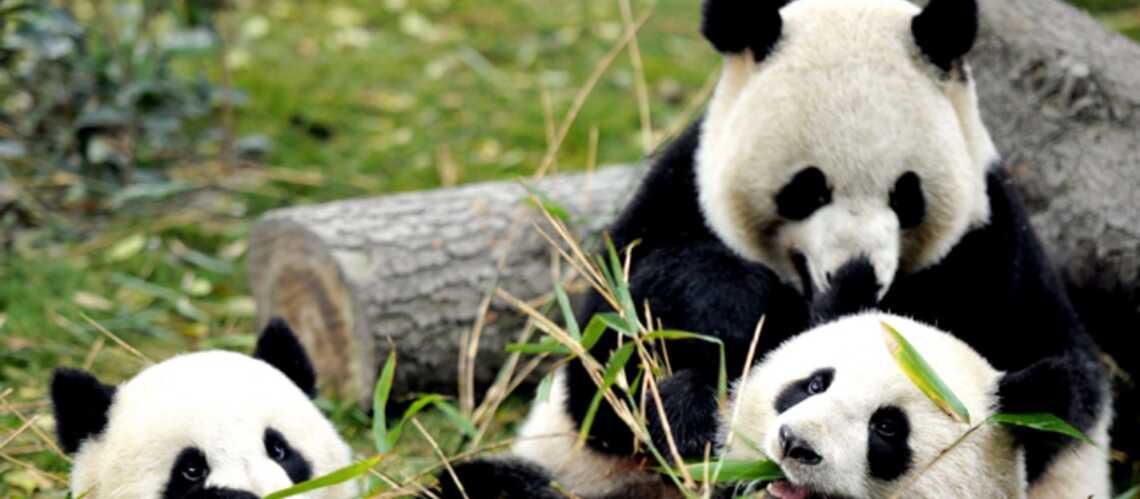 Tous fous de pandas!