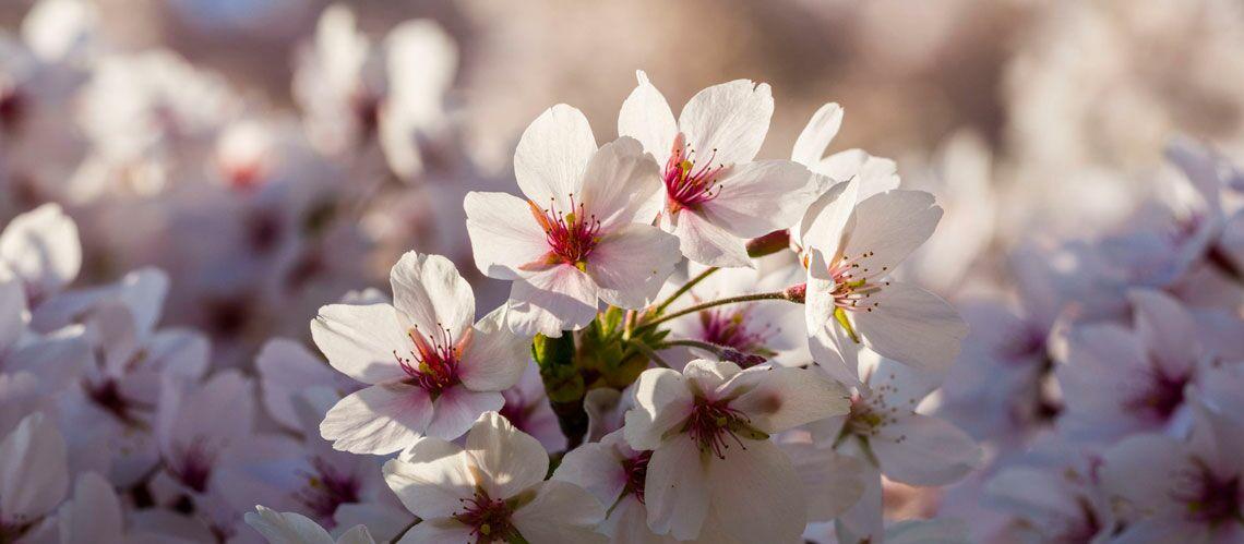 pourquoi la fleur de cerisier est l 39 ingr dient star du moment en beaut gala. Black Bedroom Furniture Sets. Home Design Ideas