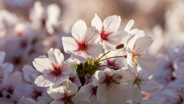 Pourquoi la fleur de cerisier est l'ingrédient star du moment en beauté?