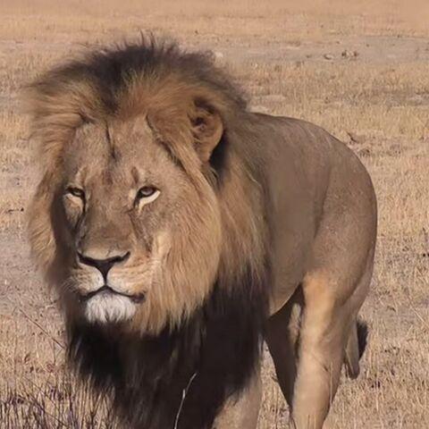 Alyssa Milano, Cara Delevingne et Ian Somerhalder pleurent la mort du lion Cécil