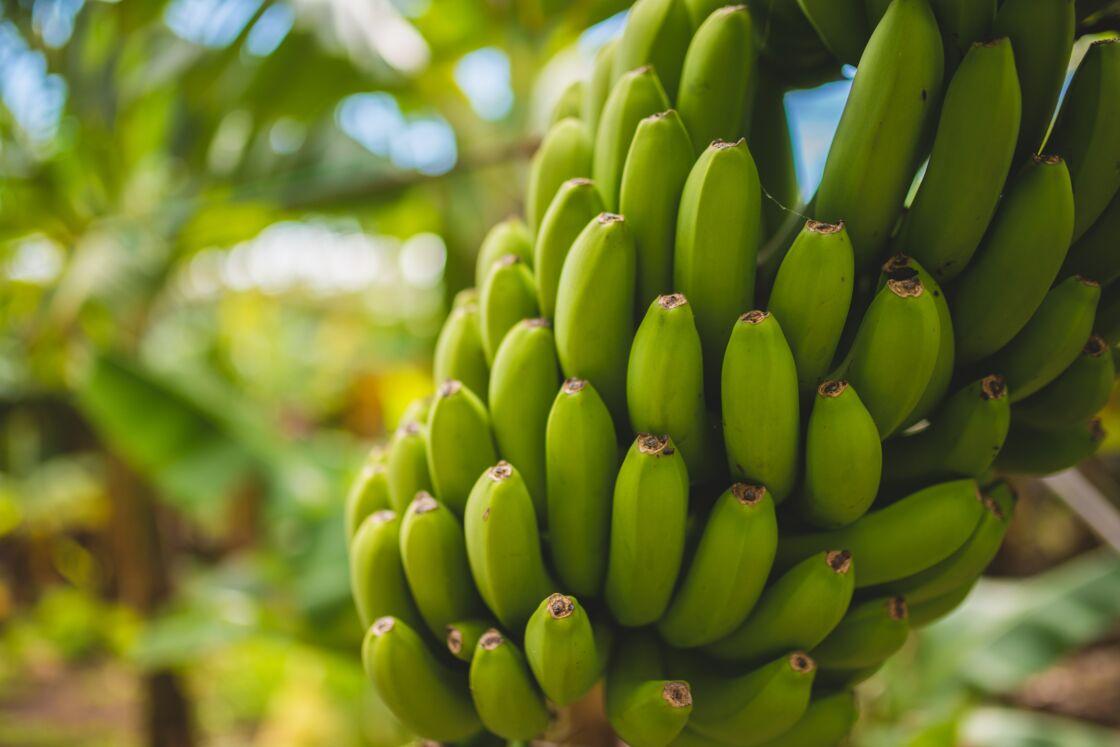 Les bananes sont cueillies vertes et murissent ensuite jusqu'à prendre une couleur jaune qui se transforme en jaune tigrée au fur et à mesure. Attention à ne pas les conserver au réfrigérateur au risque de les voir noircir.