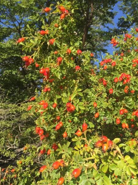 Fruits de la rose musquée avant récolte