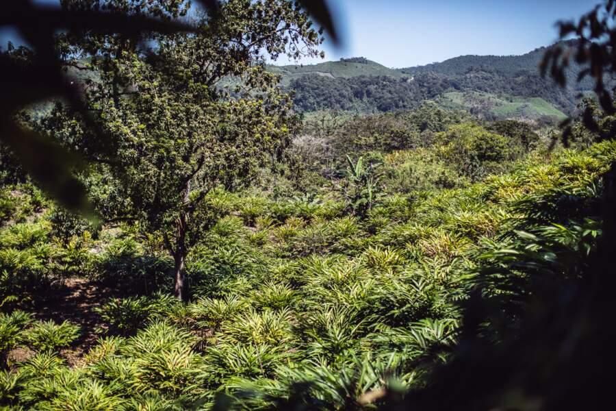 La cardamome pousse au Guatemala dans la région d'Alta Verapaz.